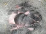 iepurasii in cuibul lor (2 zile)